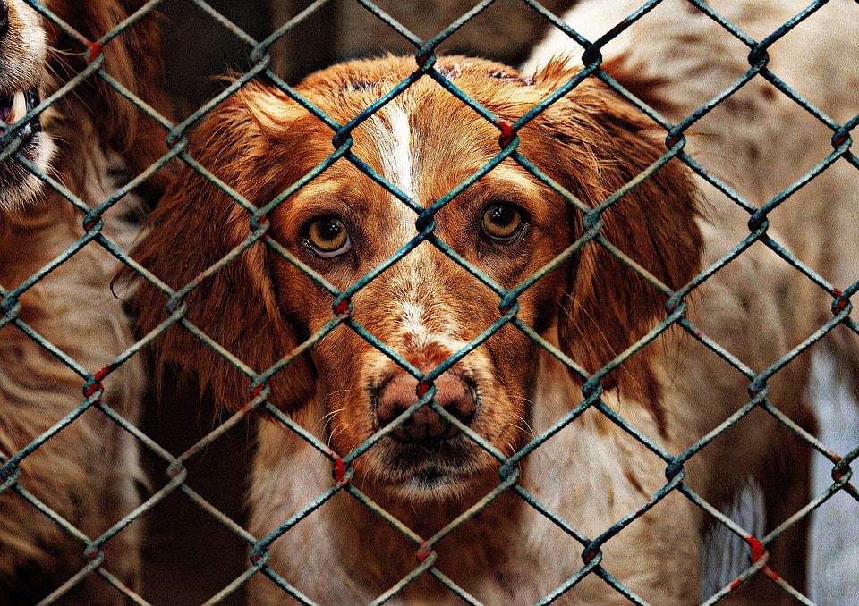 adoptiehonden